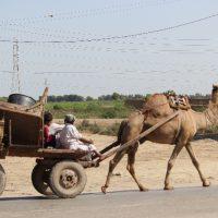 ラクダが荷物を引く