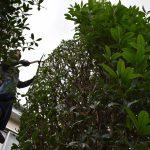 植木の剪定作業